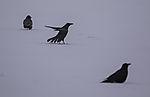 Rabenkrähen im Schnee, Corvus corone