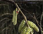 blühender Haselstrauch im Winter, Corylus avellana