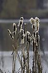 Rohrkolben im Winter, Typha sp.