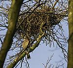 Eichelhäher unter Nest, Garrulus glandarius