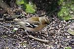 Buchfink bei Futtersuche; Fringilla coelebs
