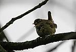 Zaunkönig singt im Baum, Troglodytes troglodytes