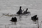 Bleßrallen im Revierkampf; Fulica atra