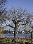 neue Zweige nach Baumschnitt, Salix, sp.