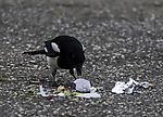 Magpie with waste, Pica pica