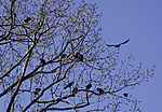 Krähenversammlung, Corvus corone