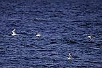 Dreizehenmöwen über dem Meer, Rissa tridactyla