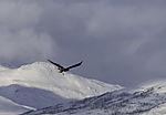 junger Seeadler fliegt ab mit Beute, Haliaeetus albicilla