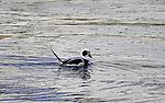 Long-tailed Ducks mating, Clangula hyemalis