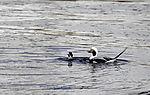 Long-tailed Ducks pair, Clangula hyemalis