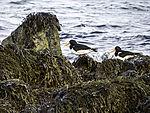 Oystercatcher pair on beach, Haematopus ostralegus