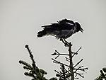 Carrion Crow shaking on tree top, Corvus corone