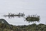 Sea Oak on stones, Halidrys siliquosa