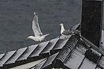 Silbermöwen auf Hausdach im Schnee, Larus argentatus