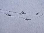 Krähenspuren im Schnee, Corvus sp.