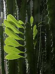 African milk tree backlit; Euphorbia trigona
