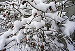 Hagebutten im Schnee, Rosa villosa