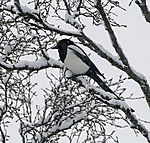 Elster im Schneefall, Pica pica