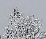 Elstern im Schneefall, Pica pica