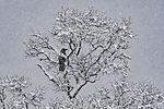 Nebelkrähe im Schneefall, Corvus corone