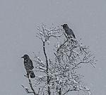 Nebelkrähen im Schneefall, Corvus corone