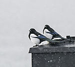 Elstern im Schneefall auf Schornstein, Pica pica
