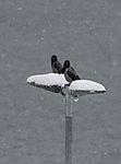Nebelkrähen auf Strassenlaterne im Schneefall, Corvus corone