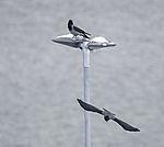 Nebelkrähen auf Strassenlaterne, Corvus corone