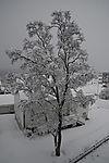 Schneebirke, Betula sp.