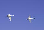 Singschwäne im Flug, Cygnus cygnus