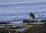 Großer Brachvogel am Strand, Numenius arquata