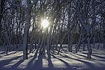 Morgensonne im Birkenwald, Betula sp.