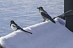 Elster und Nebelkrähe auf Dach, Pica pica, Corvus corone