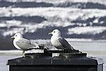 Common Gull on warm chimney, Larus canus