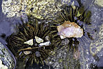 Sea Urchins on seaground with shells