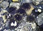 Sea Urchins on seaground