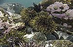 Sea Urchins on sea ground