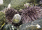 Sea Urchins and Snail