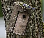 Blaumeise mit Futter vor Nistkasten, Parus caeruleus