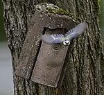 Blaumeise fliegt aus Nistkasten, Parus caeruleus