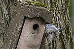 Blaumeise fliegt mit Futter zum Nistkasten, Parus caeruleus