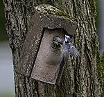 Blaumeisen drängeln am Nistkasten, Parus caeruleus