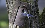 Blaumeise fliegt mit Kot aus  Nistkasten, Parus caeruleus