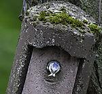 Blaumeise mit Kot am Nistkasten, Parus caeruleus