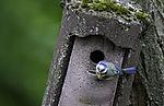 Blaumeise mit Futter am Nistkasten, Parus caeruleus