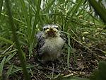 junge Blaumeise im Gras, Parus caeruleus