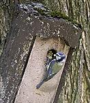 Blaumeise füttert Junges am Nistkasten, Parus caeruleus