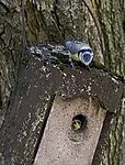 Blaumeise und Junges im Nistkasten, Parus caeruleus