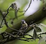 Blaumeise im Geäst, Parus caeruleus