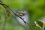 Blue Tit with food on branch, Parus caeruleus